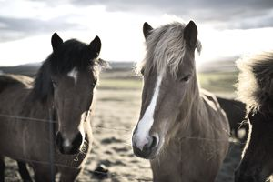 Portrait Of Two Horses On A Farm During Sunset In Iceland
