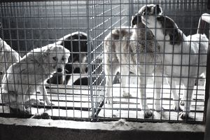 Animal Rights Supporters Protest Romanian Plan to Destroy Street Dogs