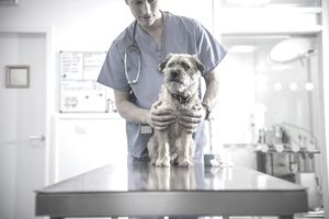A veterinarian with a canine patient at work