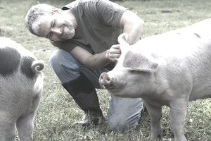 A pig farmer adjusting a pig's ear