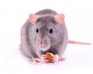 A rat nibbling on an almond.