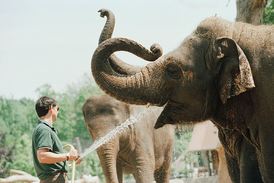 Zoo worker gives water to an elephant using a hose.