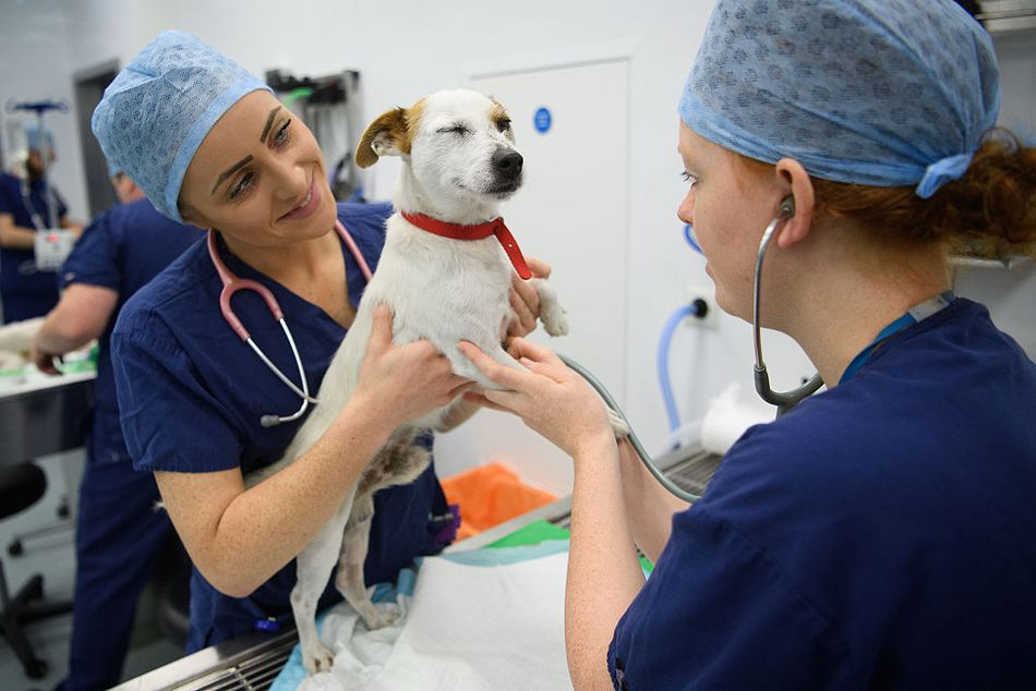a small white dog with brown ears being treated by two vets in scrubs