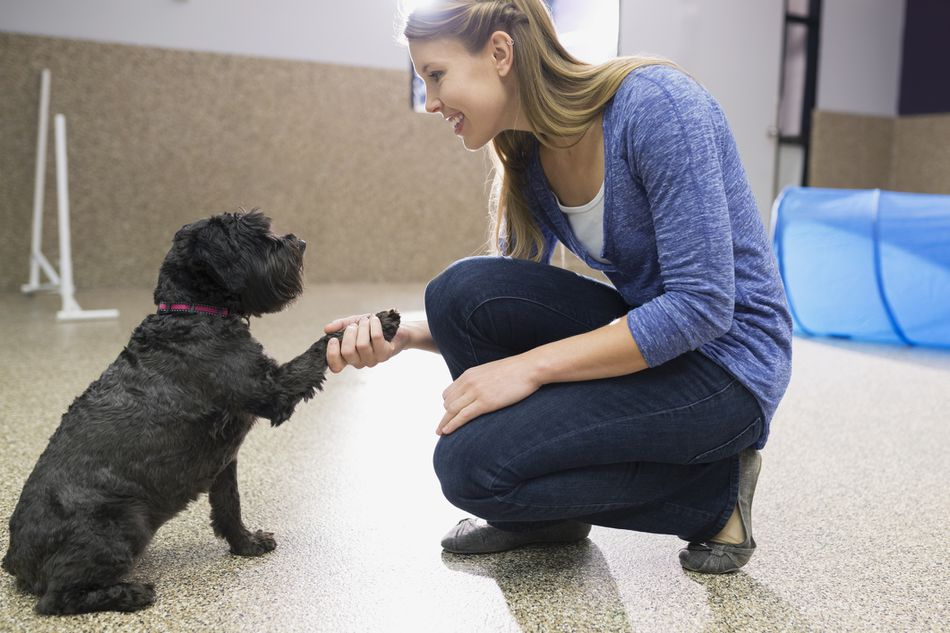 An animal behaviorist in a training facility teaching a dog to shake hands.