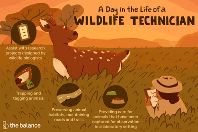 A day in the life of a wildlife technician: Assist with research projects designed by wildlife biologists, Trapping and tagging animals, Preserving animal habitats, maintaining roads and trails, Providing care for animals that have been captured for observation in a laboratory setting