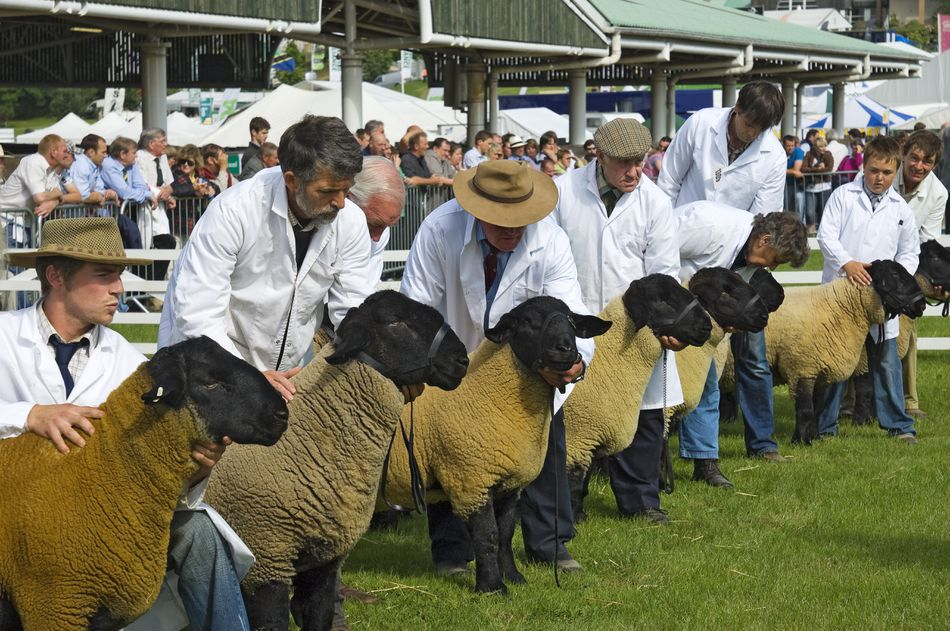 Judging of Suffolk sheep at the Great Yorkshire Show