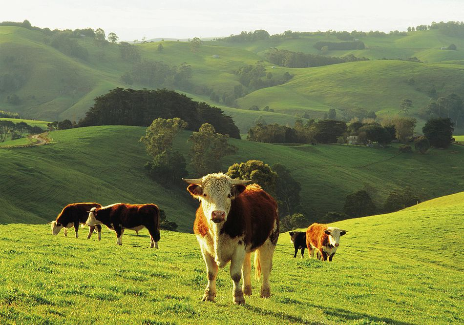 Hereford beef cattle grazing at Arawata in the Strzelecki Ranges, Gippsland, Victoria, Australia