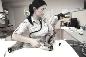 Australian Wildlife Hospital nurse listens to koala's heartbeat.