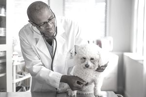 Black veterinarian examining dog in office