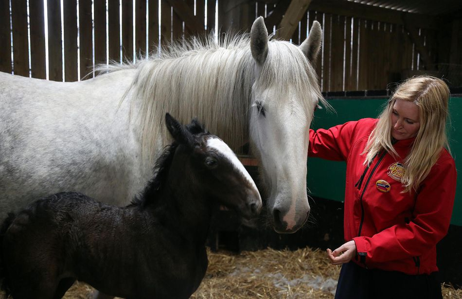 Rare Shire Horse Foal Makes A Public Appearance