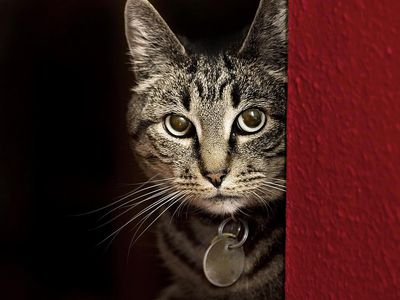 Tabby Cat Hiding Behind Red Wall