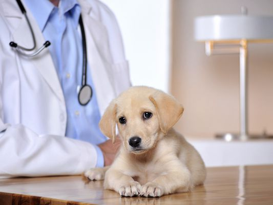 Puppy on a vet table