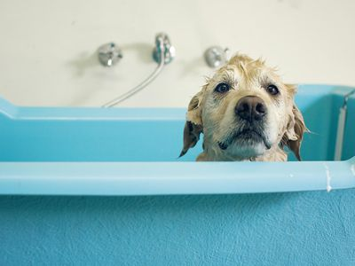 Wet dog looking sad peeks over the edge of a bathing tub at groomers