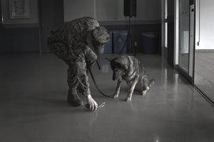 Marine Corps working dog